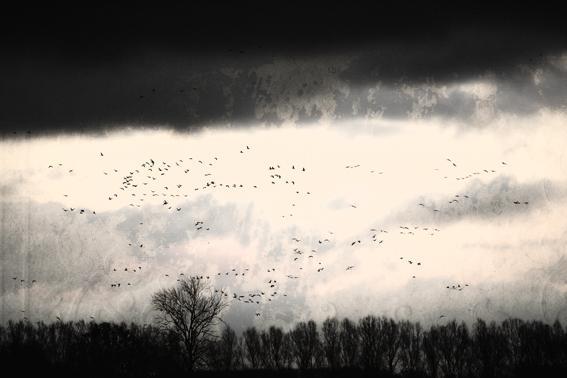 Sylvium-vogels